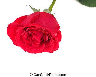 rosa, fundo branco