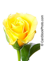 rosa, fundo branco, isolado, amarela