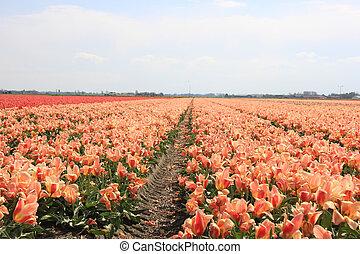 rosa, gelber , tulpen, auf, a, feld