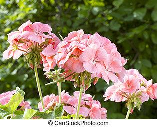 rosa, geranio, flores, (pelargonium)