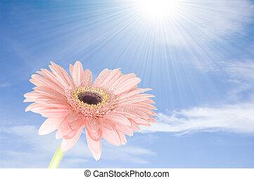 rosa, gerber, flor, contra, cielo azul