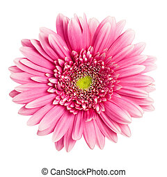 rosa, gerbera, flor, aislado, blanco, plano de fondo