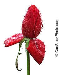 rosa, gotas, closeup, vermelho, orvalho