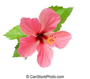 rosa, hibisco, aislado, follaje