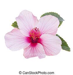 rosa, hibisco, flor, uno