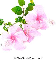 rosa, hibiskus