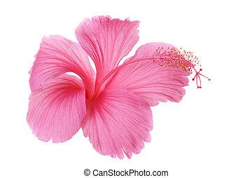 rosa, hibiskusbl�te, freigestellt, weiß, hintergrund