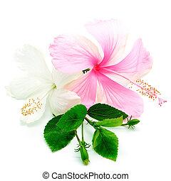 rosa, hisbiscus, blanco