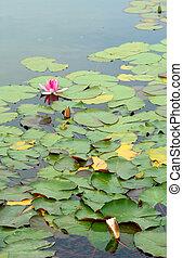 rosa, hojas, agua, verde, (species:, nymphaea, lirio,...