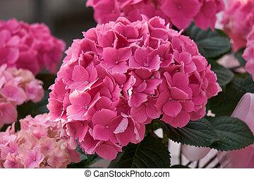 sch ne rosafarbene blume hortensie busch bl te rosa stockfotografie suche bilder und. Black Bedroom Furniture Sets. Home Design Ideas