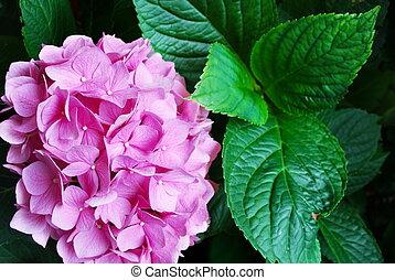 rosa, hortensie, blumen