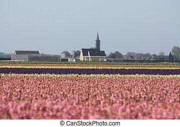 rosa, hyacints, en, un, campo