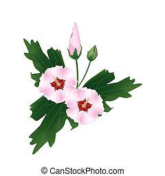 rosa, ibisco, fiore, fondo, bianco, germoglio