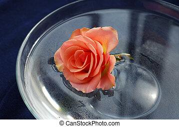 rosa, in, acqua