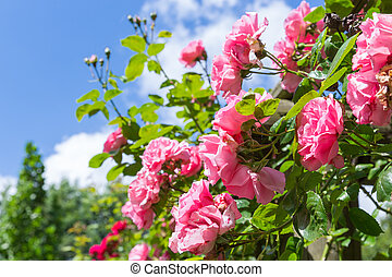 Rosa in ornamental garden with selective focus against a...