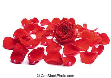 rosa, isolado, vermelho, pétalas