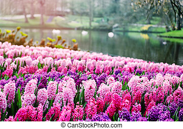 rosa, jacintos, en, keukenhof, jardines, países bajos