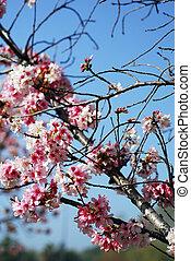 rosa, körsbär, blomningen, blomning, in, mars, månad