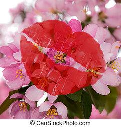 rosa, körsbär, blossoms.