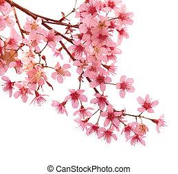 rosa, kirsch blüte, sakura