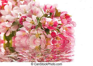 rosa, kirschen, blossoms.