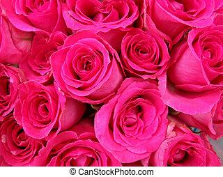 rosa, knospen