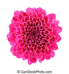 rosa, krysantemum