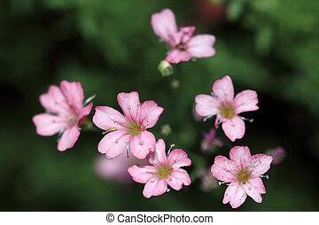 rosa, licht, gypsophila, 'rosa, schonheit', repens, klein, blumen