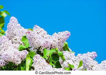 rosa, lila, in, blauer himmel
