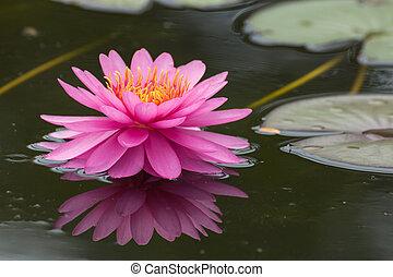 rosa, loto, acqua, fiori, azzurramento, stagno, fiori, giglio, o