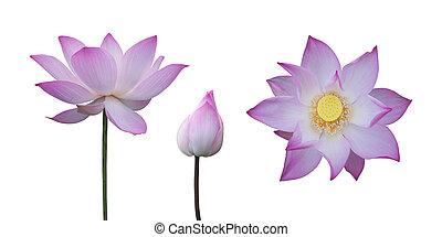 rosa, loto, bianco, isolato, collezione