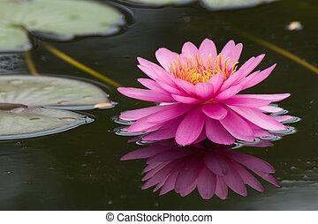 rosa, lotos, blüten, oder, seerose, blumen, blühen, auf, teich