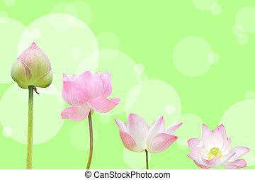 rosa, (lotus), flor, agua, fondo verde, lirio