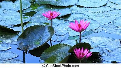 rosa, lotusblüte, blühen, in, der, teich