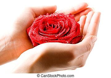 rosa, mão