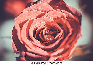 rosa, macro, rose., textura