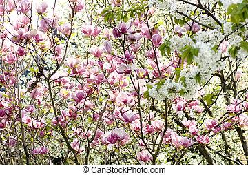rosa, magnolia, flores, en un rama