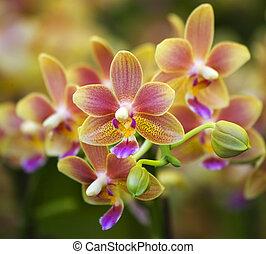 rosa, manchado, hong, flor, amarillo, kong, mercado, orquídeas