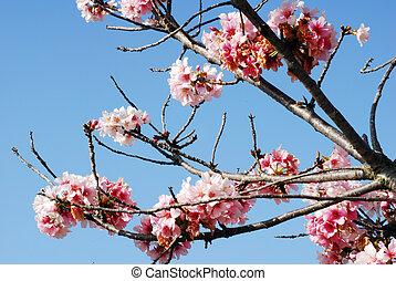 rosa, mars, körsbär, månad, blomning, blomningen