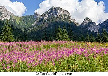 rosa, montagne, fiori, prato, polonia, lupino, tatra, valle