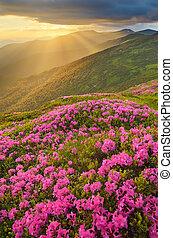 rosa, montagne, fiori, tramonto, radura