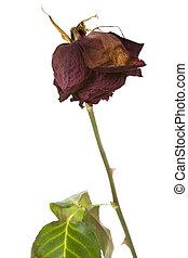 rosa, morto