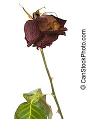 rosa, muerto