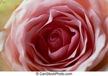 rosa, núcleo, primer plano, rose.texture, solo