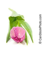 rosa, niederländisch, tulpenblüte
