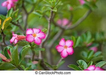rosa, o, adenium, desierto