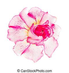 rosa, obesum, flor, adenium, rojo