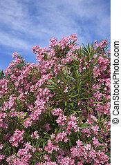 rosa, oleander, blühen, bush.