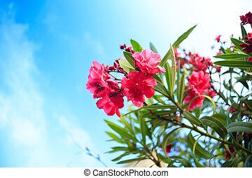 rosa, oleander, busch, blumen, blühen