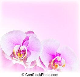 rosa orchid, blomma, gräns